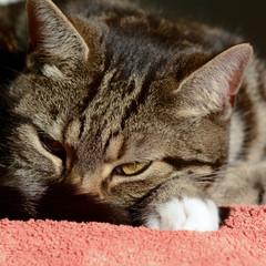 Tabby cat sun puddling on blanket