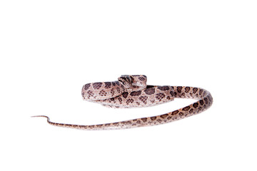 Many Spotted Cat Snake on white