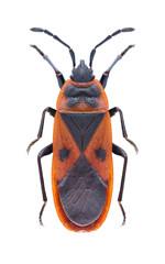 Bug Scantius aegyptius