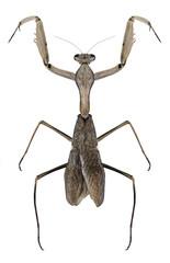 Mantis Sphodromantis viridis