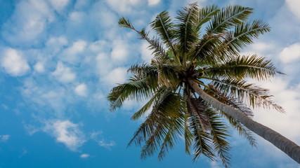 Coconut garden on daylight