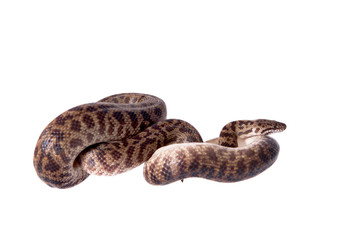Spotted Python on white background
