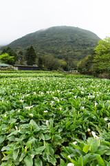 calla lily garden