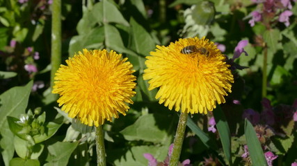 Dandelions at meadow in spring and bee