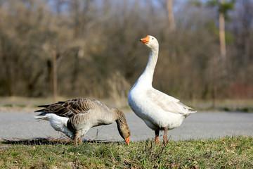 Gooses on rural farm
