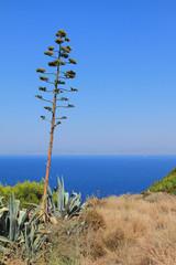 Cactus on sea shore. Rhodes, Greece