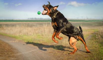 Пёс ротвейлер