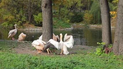 pelicans some clean feathers and other run along shore
