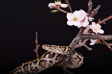butter ball royal python moorish viper boa snake on a branch