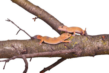 Two crested gecko sitting on a branch isolated