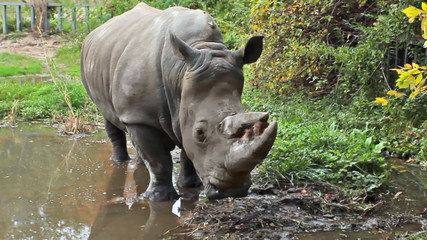 Southern white rhinoceros stands in puddle at park