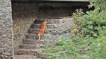 Amur tiger gets up and goes down stone stairs