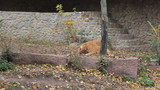 two young African lions play in aviary at autumn Zoo poster
