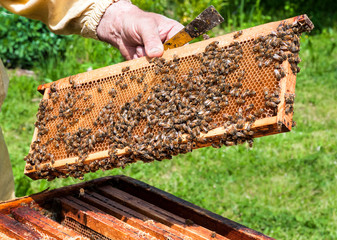 Worker bees in the hive
