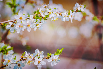 blossom of cherry tree on blurred floral background i
