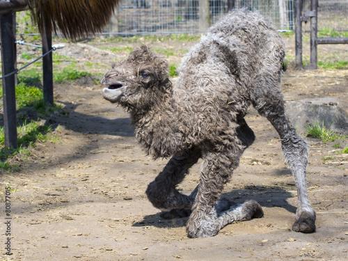 Tuinposter Kameel Bactrian camel (Camelus bactrianus) calf