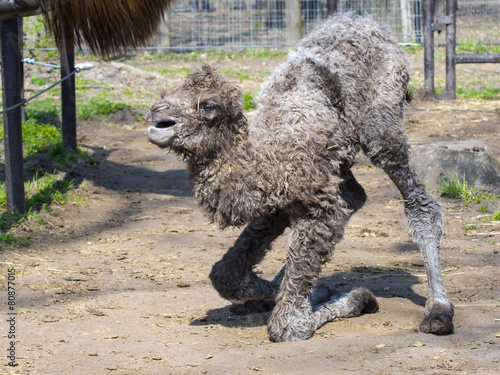 Foto op Aluminium Kameel Bactrian camel (Camelus bactrianus) calf