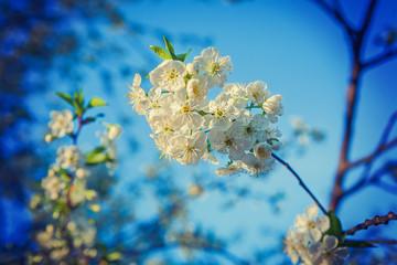 little cherry tree flowers on branch instagram stile