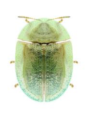 Beetle Cassida palaestina