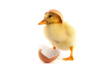 Yellow small duckling