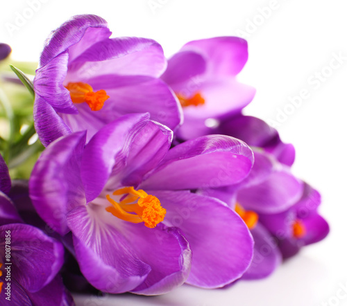 Foto op Plexiglas Krokussen Purple crocus isolated on white