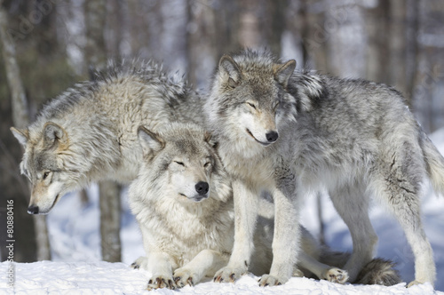 Fotobehang Wolf meute de loup gris