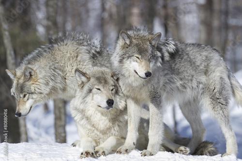 Foto op Plexiglas Wolf meute de loup gris