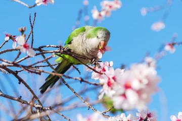Halsbandsittich in der Mandelblüte