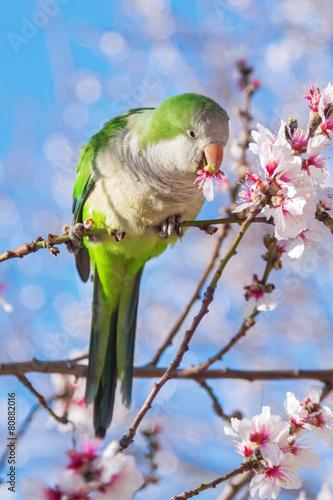 Staande foto Papegaai Halsbandsittich in der Mandelblüte