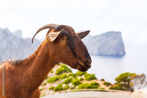 Majorca goat in Formentor Cape Lighthouse - 80883478