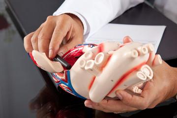Médico mostrando un modelo de un corazón