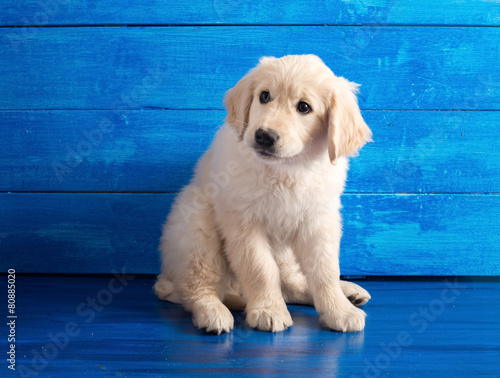 English Golden Retriever Puppy on Blue Wood Poster