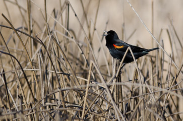 Male Red-Winged Blackbird Singing in the Marsh