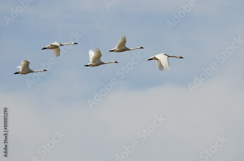 Tuinposter Zwaan Flock of Tundra Swans Flying High Above the Clouds