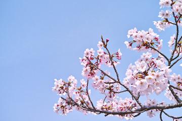 サクラの小枝と青空