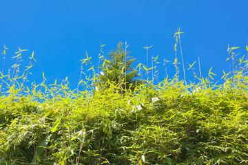 haie vive de bambous sur fond de ciel bleu