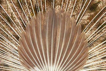 feathers of a peacock - Stock Image