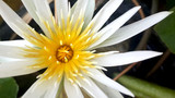 Close up of White and Purple Waterlily