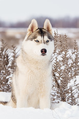 Siberian Husky in winter mountains