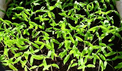semis de tomates dans du terreau