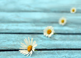 Flower daisy on a blue wooden background
