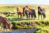 Horses in a green field of Iceland © dvoevnore