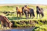 Fototapeta Konie - Horses in a green field of Iceland © dvoevnore