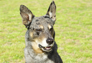 Dog-faced gray mongrel