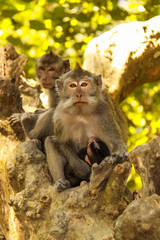 female with young Rhesus monkey , Lombok, Indonesia