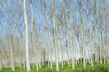 poplar trees in spring