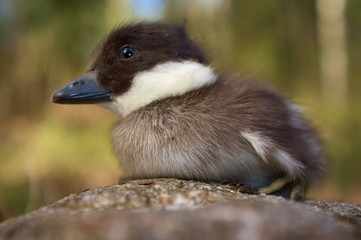 Common goldeneye duckling