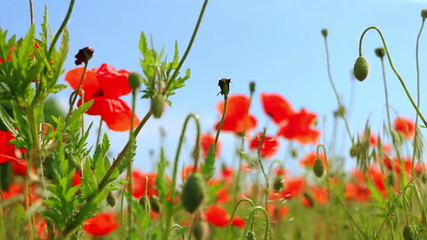 Red Flowers on a Poppy Field