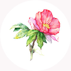 Watercolor pink wild rose. Vector floral illustration