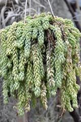 rhipsalis mesembryanthemoides